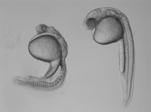 A deformed zebrafish embryo and a normally developing embryo