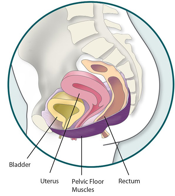 Medical illustration of the pelvic floor including the bladder, uterus, pelvic floor muscles, and rectum.