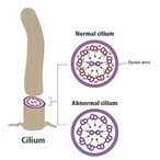 Tiny structures called dynein arms are vital to the movement of cilia.