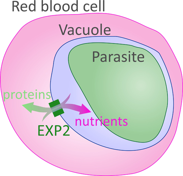Diagram of the malarial parasite, within the vacuole, a compartment within the red blood cell. The flow of proteins into the cell and nutrients into the vacuole is made possible by the EXP protein, depicted as a box spanning the membrane surrounding the vacuole.