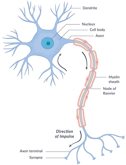 Illustration of the architecture of a neuron, including the cell body, nucleus, dendrites, axon, myelin sheath, node of Ranvier, synapses, and axon terminal.