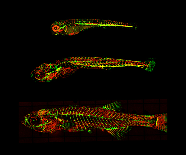 Image of 4, 12, and 18-day-old transgenic zebrafish showing blood vessels that are red, lymphatic vessels that are green, and veins that are yellow.