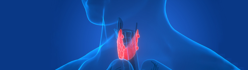 Scientific illustration of the four parathyroid glands.