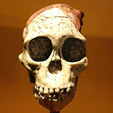 The skull of an Australopithecus africanus.