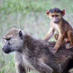 An infant baboon, seated on its mother's back.