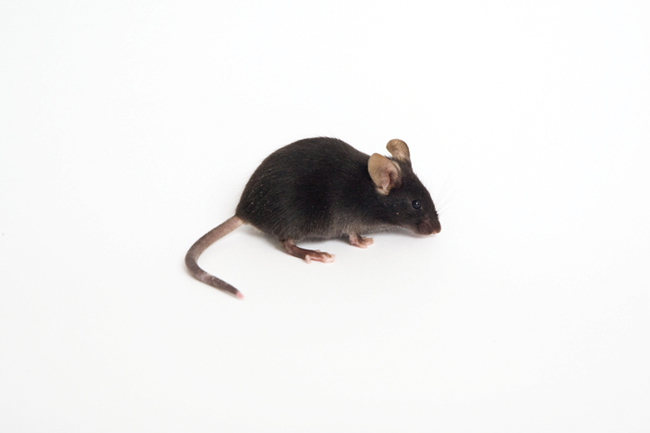 By creating an experimental mouse model for Down syndrome, the Ts65Dn mouse, scientists have a valuable tool for identifying factors that can prevent or reduce the intellectual and other problems associated with the syndrome and with other conditions.