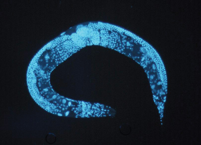 Working with the worm <em>Caenorhabditis elegans</em>, Nobel Prize-winning researchers Andrew Fire and Craig Mello discover that double-stranded RNA triggers a process that suppresses gene activity, revealing a new mechanism of gene regulation.