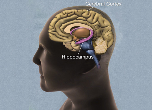 Head showing cross-section of human brain, with cerebral cortex and hippocampus labeled.