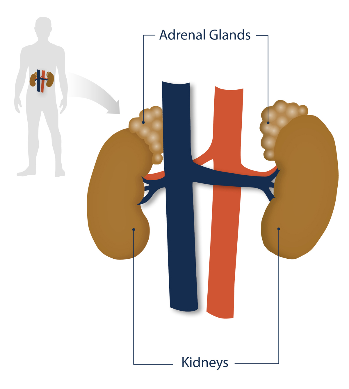 Position of the adrenal glands and kidneys in the human body
