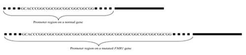 Graphic showing the promoter region on a normal gene versus on a mutated FMR1 gene