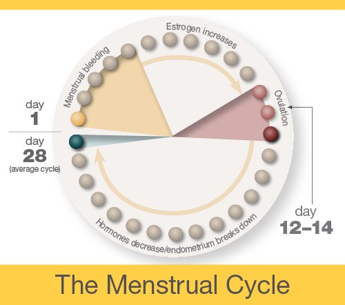 A diagram indicating that menstrual bleeding occurs between days 1 and 5 of an average 28-day menstrual cycle. Estrogen increases occur between days 6 and 11. Ovulation occurs between days 12-14. Hormones decrease and the endometrium breaks down between days 15 and 28.