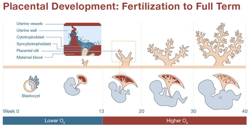 Placental Development: Fertilization to Full Term