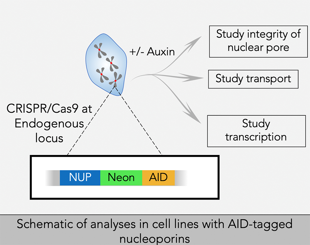 Schematic of analyses in cell lines with AID-tagged nucleoporins.