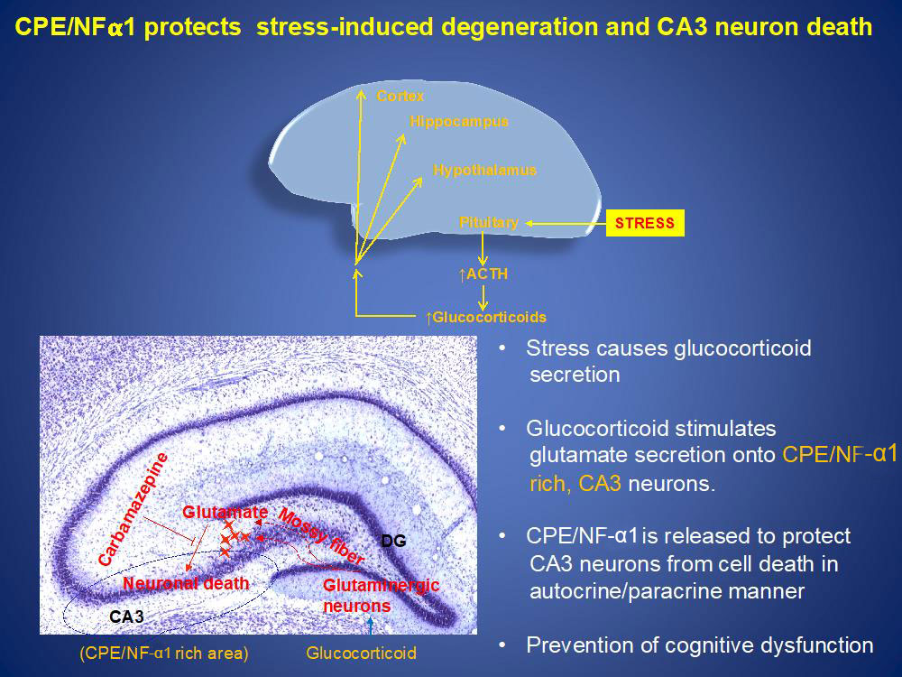 CPE/NF-α1 protects stress-induced degeneration and CA3 neuron death; stress causes glucocorticoid secretion; glucocorticoid stimulates glutamate secretion onto CPE/NF-α1 rich, CA3 neurons; CPE/NF-α1 is released to protect CA3 neurons from cell death in autocrine/paracrine manner; prevention of cognitive dysfunction.