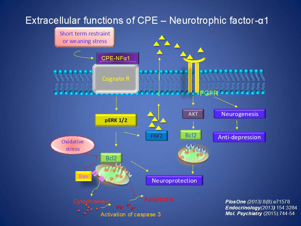 Extracellular functions of CPE-Neurotrophic factor-α1.