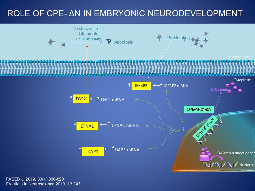 Role of CPE-α1 in Embryonic Neurodevelopment; CPE/NFα1-ΔN is transported from the cytoplasm into the nucleus where it up-regulates the transcription of various genes that are involved in proliferation, (IGFBP2, b-catenin), neuronal migration, (EFNA1) and programmed cell death, (DAP1). CPE/NFα1 also upregulates the expression of FGF2 in embryonic neurons to mediate proliferation and neuroprotection against oxidative stress and glutamate excitotoxicity.