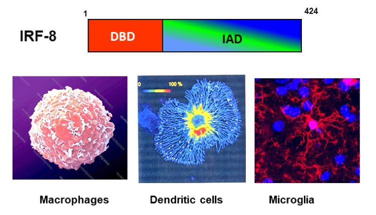 Microscopic views of macrophages, dendritic cells, and microglia.