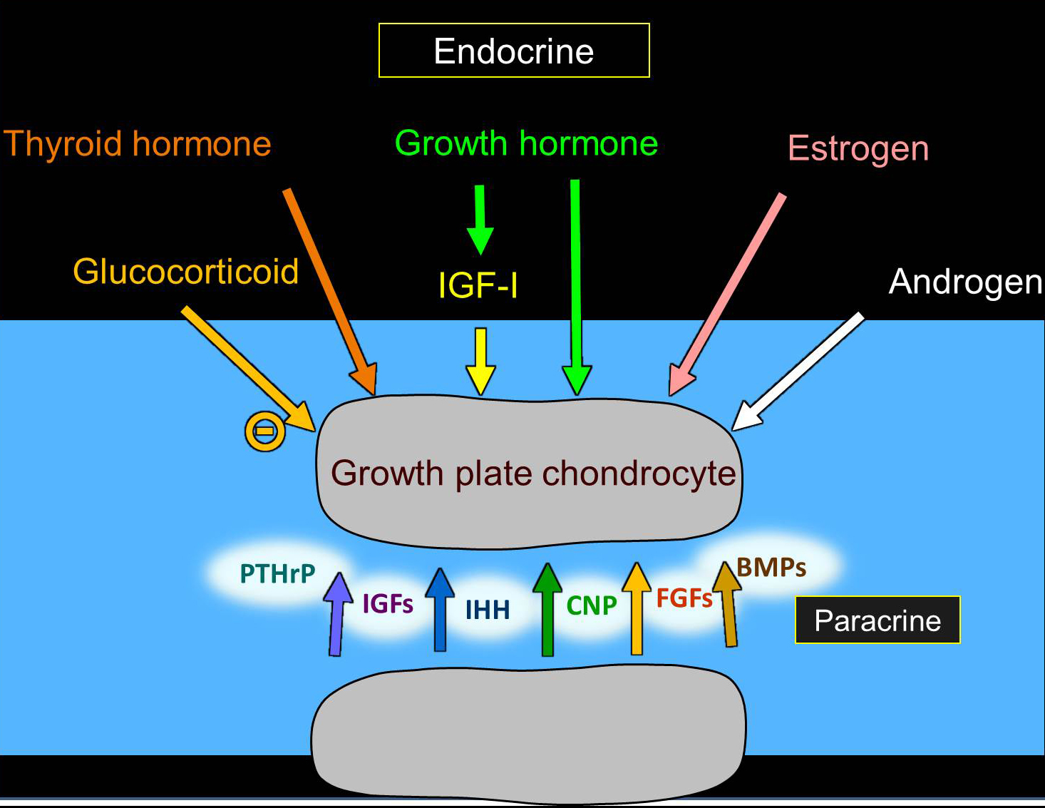 Illustration of chondrogenesis in the growth plate.