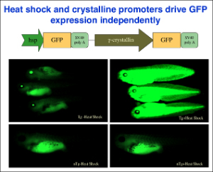 Heat Shock and Crystalline Promoters drive GFP expression independently.