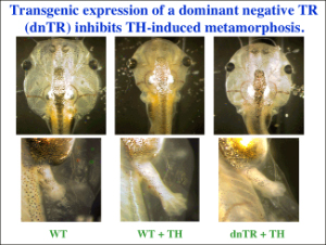 Transgenic expression of a dominant negative TR (dnTR) inhibits TH-induced metamorphosis.