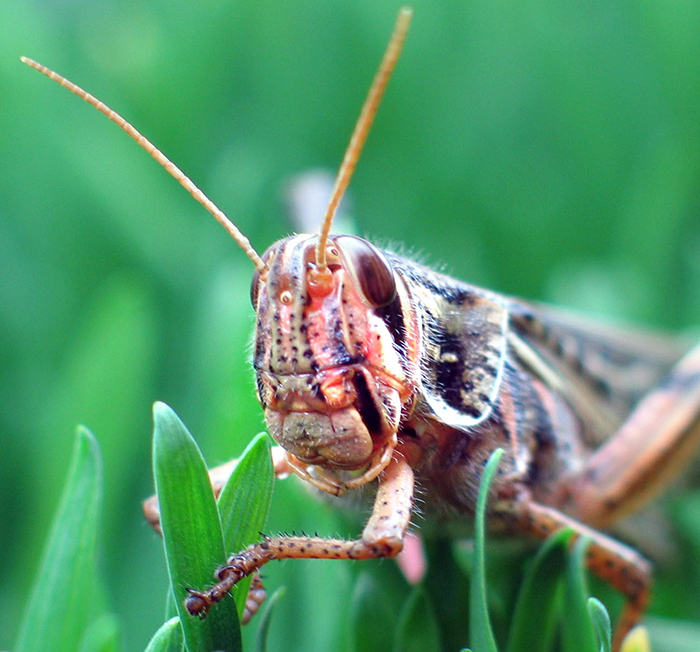 Locust in grass.