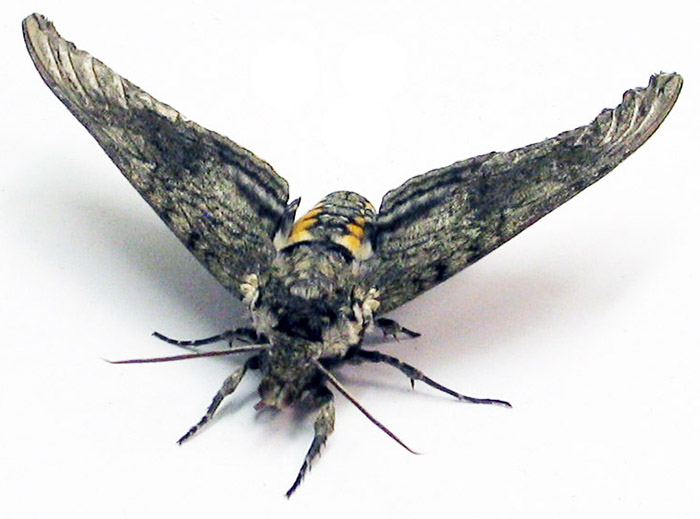 Moth with wings extended.