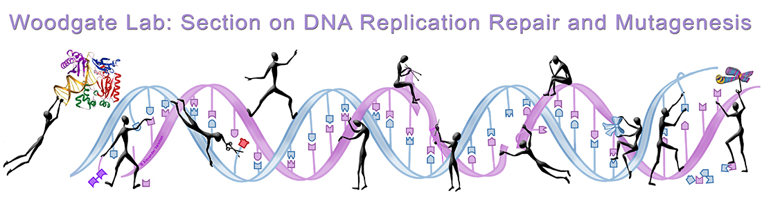 Woodgate Lab: Section on DNA Replication, Repair, and Mutagenesis