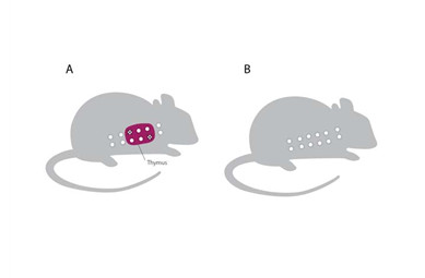 Illustrations of two mice, with thymus removed