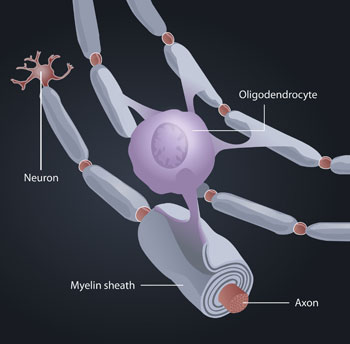 Myelin formation