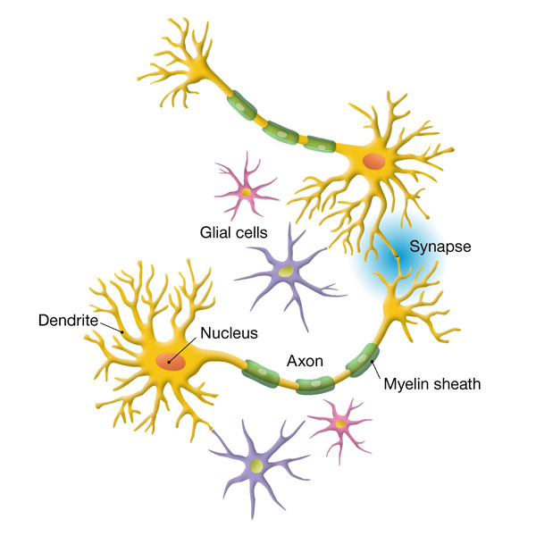 An illustration showing neurons and glial cells.