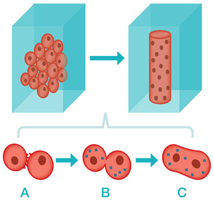 Graphic showing process of cell fusion.