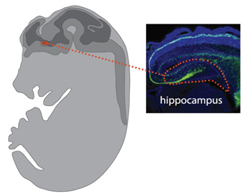 Hippocampus in fetal brain