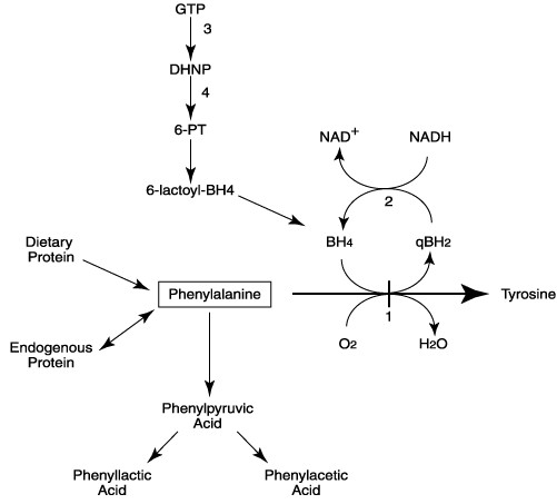 Fig.1 The pathway for phenylalanine metabolism and biochemical defects